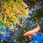 Japan Autumn Colors, Momiji and Koi (c) Guillaume Nargeot